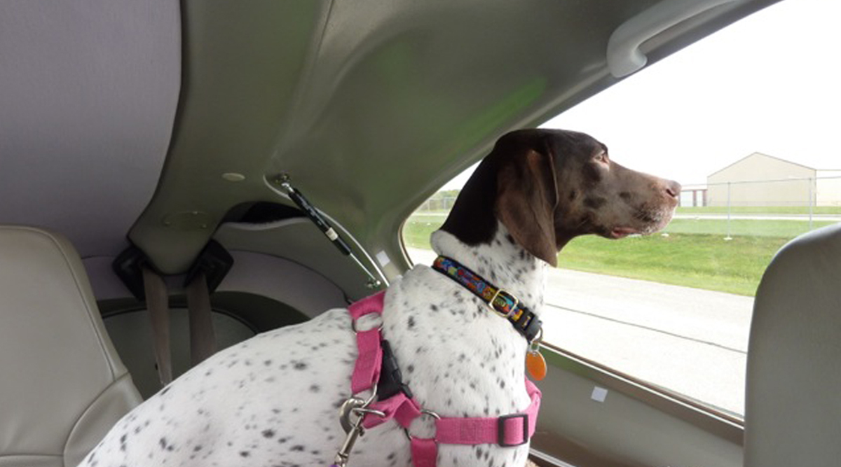 Dog travels in the back of a car